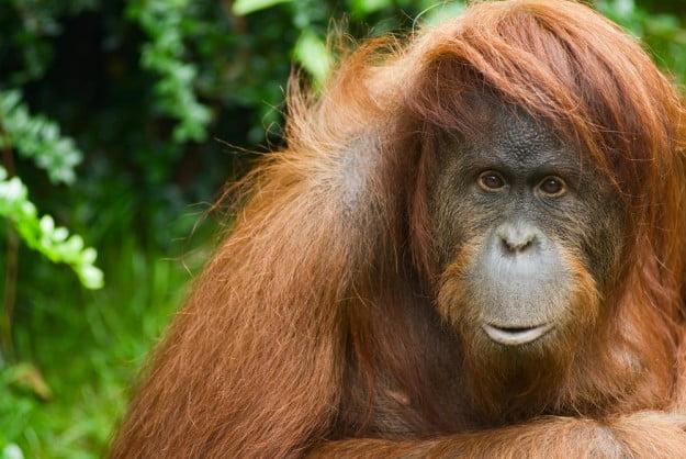 orangutan-625x418